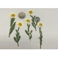 Quality Fashion Dried Pressed Flowers White Chrysanthemum / Stem For Leaf Vein Bookmark Gifts for sale