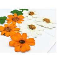 Quality Zinnia Natural Dried Flowers , Dried Daisy Flowers Fit Handmade Floral Raw Material for sale