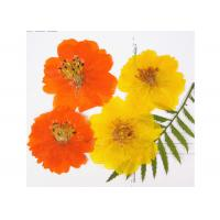 Quality Orange Cosmos Real Dried Flowers Diameter 5CM Natural Plants For Handsets Case for sale