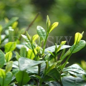 Quality 100% pure organic bio green tea extract for sale