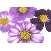 Quality Variegated Cosmos Framed Dried Pressed Flowers For Home Decoration for sale