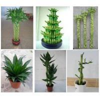 lucky bamboo bonsai indoor plant for sale 90183408. Black Bedroom Furniture Sets. Home Design Ideas