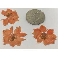 Quality Dye Orange Larkspur Real Dried Flowers Diameter 3CM For Card / Home Decoration for sale