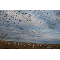 Quality ANTIQUE HUNTING REPRO 8 X 10 PHOTOGRAPH HUNTER'S LOTS OF SNOW GEESE for sale