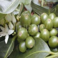 Quality Green coffee bean P.E. to treat various ailments for sale