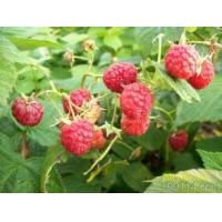 Quality 100% natural raspberry extract powder for weight loss for sale