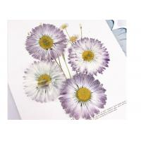 Quality Daisy Large Pressed Flowers , Natural Plant Specimens Flat Dried Flowers for sale