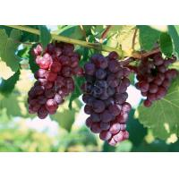 Quality 100% purity grape seed extract for sale