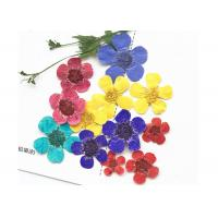 Quality Dye Ranunculus Pressed Flower Art Specimens Plants Epoxy Pressed For New Year Card for sale