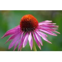 Quality Echinacea purpurea P.E. powder stimulating phagocytosis for sale