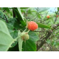 Quality Raspberry extract herbal health care product for sale for sale