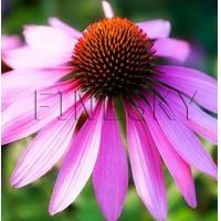 Quality Echinacea purpurea extract powder for functional foods for sale