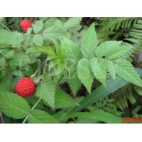 Quality Raspberry extract powder healthy nutrition supplement for sale