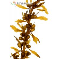 Quality Plug Ficus elastica plants--Rubber plant for sale