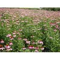 Quality Herbal echinacea purpurea extract with polyphenol 4% for sale
