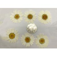 Quality White Chrysanthemum Hand Pressed Flowers For Wedding Party Favors / Gifts for sale