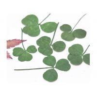 Quality Original Green Shamrock Dried Flower Petal Crafts Gift Card Decoration For Holidays for sale