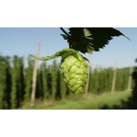 Quality Hops extract powder for healthcare application for sale