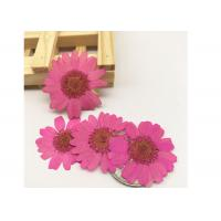 Quality Colorful Pressed Flower Crafts , Diameter 3CM True Plant Dry Flower Decoration for sale