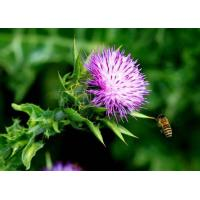 Quality Milk Thistle P.E. pharmaceutical product for sale for sale