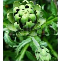 Quality Herbal artichoke extract brown-yellow powder for sale
