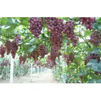 Quality Grape seed extract pharmaceutical product for sale