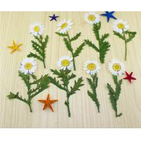 Quality Small Chrysanthemum Dried Pressed Flowers Size Customized For DIY Christmas Card for sale