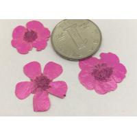 Quality Buttercup Dried Pink Flowers , Small Pressed Flowers For Plant Teaching Specimen for sale