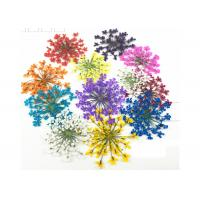 Buy Mixed Color Minoan Lace Real Pressed Flowers Diameter 25MM For Crystal Epoxy Jewelry at wholesale prices