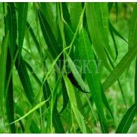 Quality White willow bark extract white or light yellow powder for sale