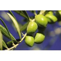 Quality Olive leaf extract powder healthy dietary supplementation for sale