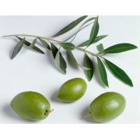 Quality Natural antibiotic agent olive leaf extract supplement for sale