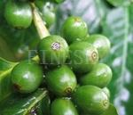 Quality Green coffee bean extract natural plant supplement for sale