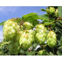 Quality Hops extract powder for various ailments treatment for sale