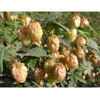 Quality Hops extract powder natural dietary supplementation for sale