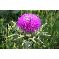 Quality Milk thistle extract natural herbal aliment for sale