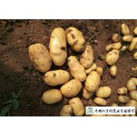 Buy Delicious Fresh Potato Can Used As A Vegetable Or As A Staple Food at wholesale prices