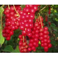 Quality 100% natural schiandrins,pure schisandra extract 1%~25% HPLC powder for sale