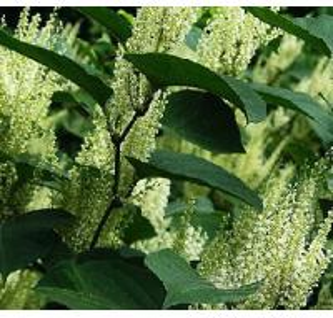Quality Resveratrol powder for natural nourishment product for sale