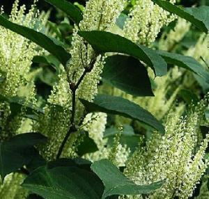 Quality Resveratrol powder pure natural nourishment for sale