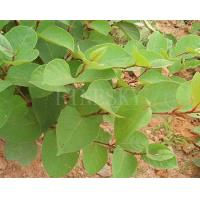 Quality Anti cancer polygonum cuspidatum root extract resveratrol for sale