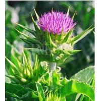Quality Milk thistle extract powder pharmaceutical product for sale