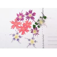 Quality Different Color Phlox Natural Dried Flowers Raw Material For Postcard Decoration for sale
