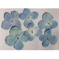 Quality Original Light Blue Hydrangea Dried Pressed Flower Gifts For DIY Bookmark Material for sale