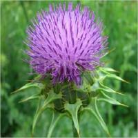 Quality Milk Thistle Extract Silymarin 80% Herbal Product for sale