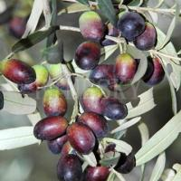 Quality Natural olive leaf extract oleuropein as nutraceutical for sale