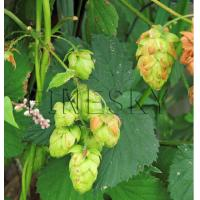Quality Herbal hops extract powder for nutritional supplementation for sale