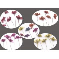 Quality Teaching Specimens Real Dried Flowers Small Size Lace Flower Gift Card Material for sale