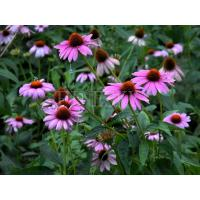Quality Echinacea purpurea extract nutritional dietary supplement for sale