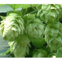 Quality Hops extract powder health care aliment for sale for sale